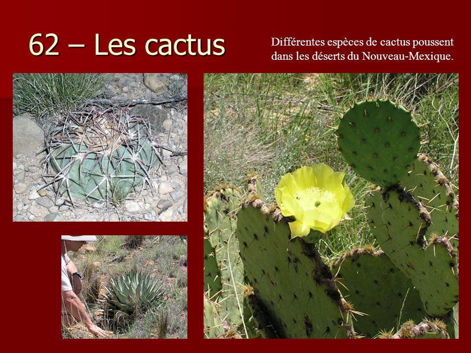 62 – Les cactus Différentes espèces de cactus poussent dans les déserts du Nouveau-Mexique.