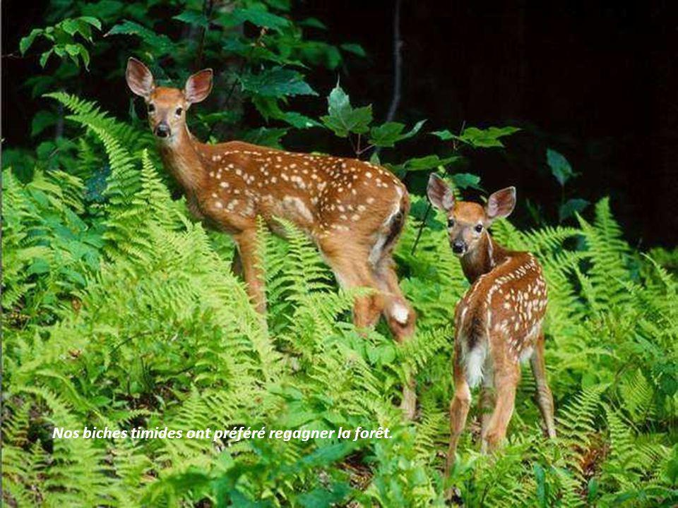 Nos biches timides ont préféré regagner la forêt.