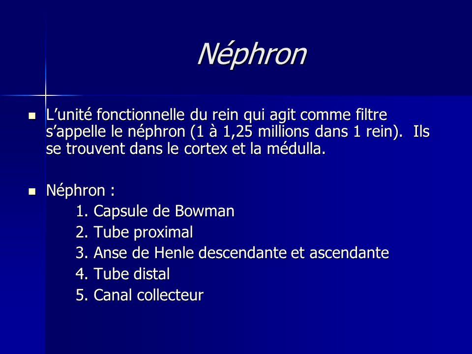 Néphron L'unité fonctionnelle du rein qui agit comme filtre s'appelle le néphron (1 à 1,25 millions dans 1 rein).