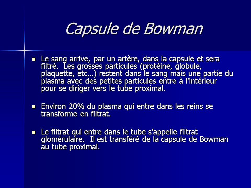 Capsule de Bowman Le sang arrive, par un artère, dans la capsule et sera filtré.