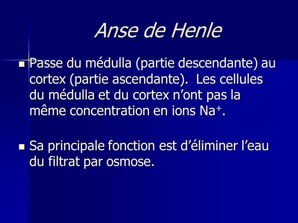 Anse de Henle Passe du médulla (partie descendante) au cortex (partie ascendante).