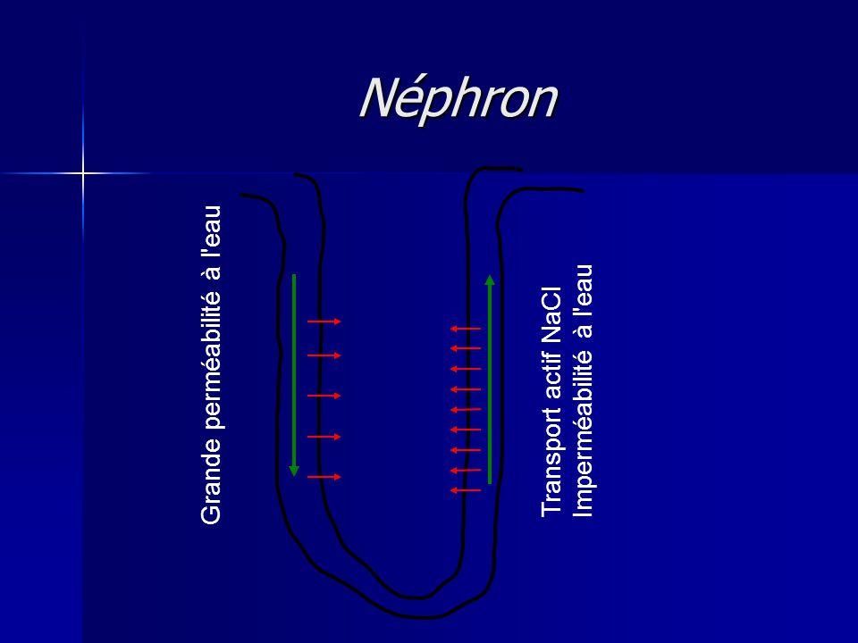 Néphron Transport actif NaCl Imperméabilité à l eau Grande perméabilité à l eau