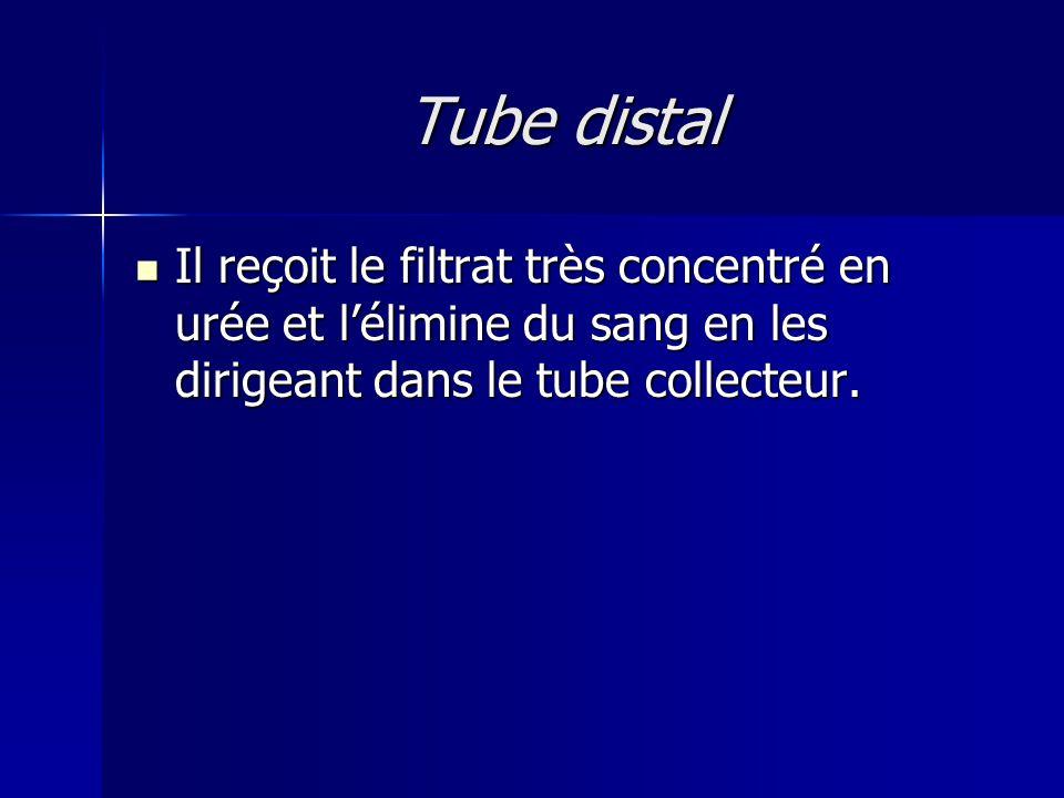 Tube distal Il reçoit le filtrat très concentré en urée et l'élimine du sang en les dirigeant dans le tube collecteur.