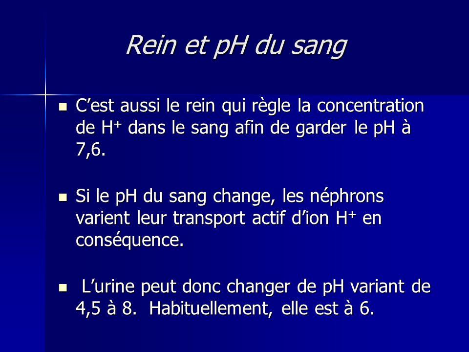 Rein et pH du sang C'est aussi le rein qui règle la concentration de H + dans le sang afin de garder le pH à 7,6.