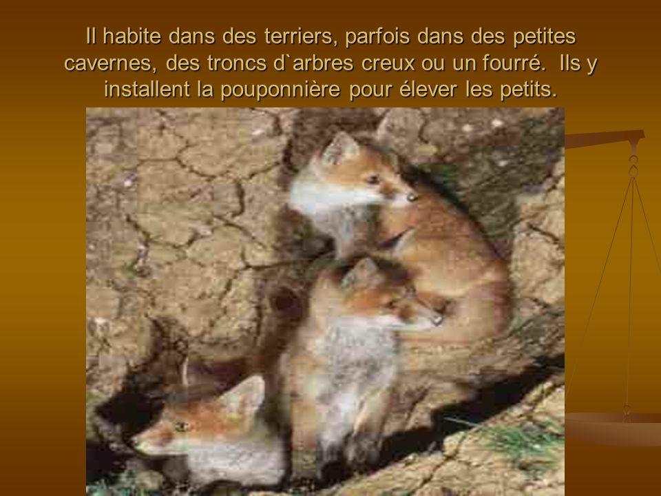 Il habite dans des terriers, parfois dans des petites cavernes, des troncs d`arbres creux ou un fourré. Ils y installent la pouponnière pour élever le