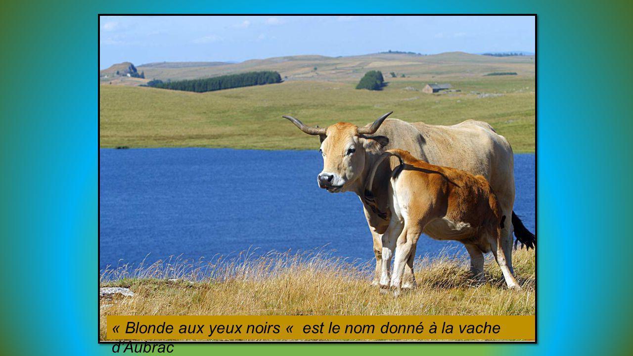 « Blonde aux yeux noirs « est le nom donné à la vache d'Aubrac