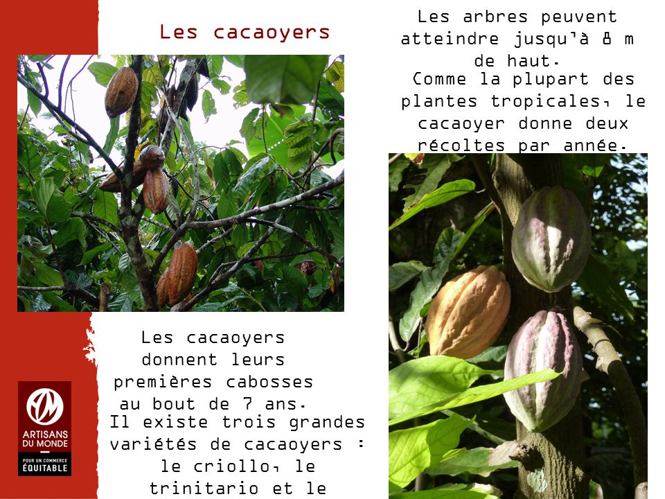 Chiffres 5/ Un cacao bon pour l'Homme et bon pour l'environnement  Regroupement de 49 coopératives pour lutter contre la domination des prix des intermédiaires peu scrupuleux Nom : El Ceibo Localisation : Bolivie – Alto Beni – La Paz Coopérative créée en 1977 Nb de producteurs de cacao : 1200 familles Nb de salariés : 84  Formation des producteurs  Productions biologiques  Bourses d'études  Redistribution des excédents à chaque maillon de la chaîne LE CACAO D'  La coopérative a créé un centre de transformation des fèves (photo ci-dessus) pour donner plus de valeur à leur production en exportant de la pâte de cacao et du cacao en poudre plutôt que de simples fèves à faible prix .