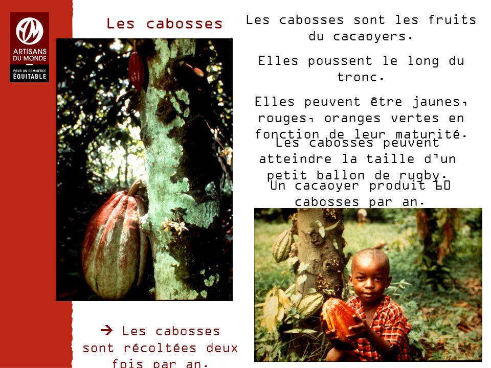 Chiffres Les cabosses sont les fruits du cacaoyers. Elles poussent le long du tronc. Elles peuvent être jaunes, rouges, oranges vertes en fonction de