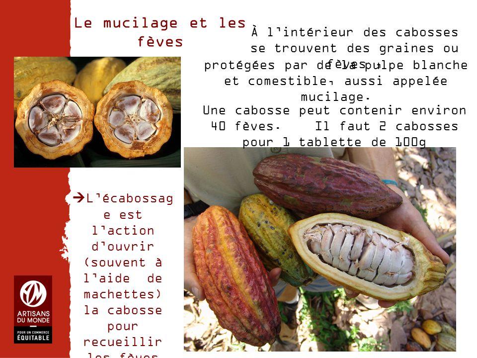 Chiffres Le mucilage et les fèves protégées par de la pulpe blanche et comestible, aussi appelée mucilage. Une cabosse peut contenir environ 40 fèves.