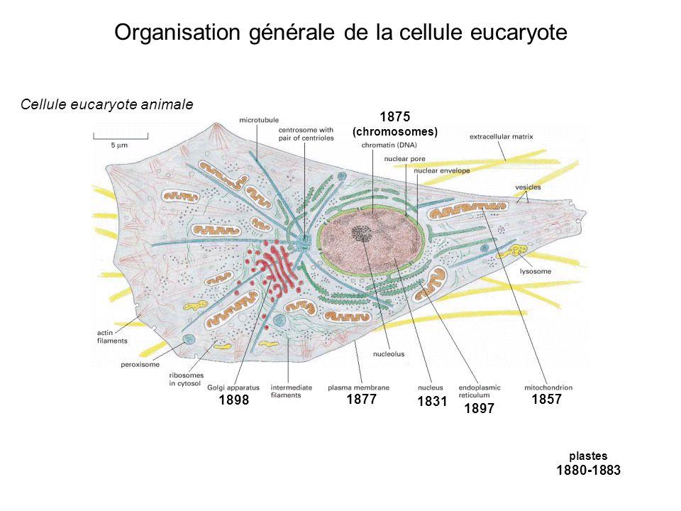 Organisation générale de la cellule eucaryote 1831 1857 1875 (chromosomes) 1877 plastes 1880-1883 1897 1898 Cellule eucaryote animale