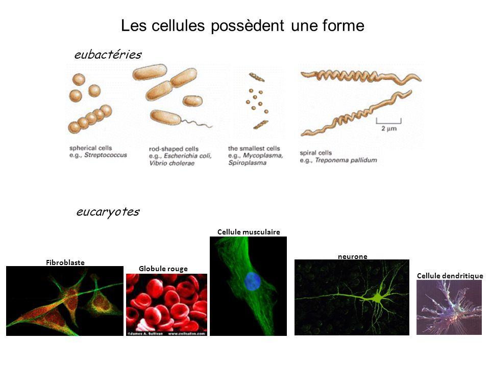Les cellules possèdent une forme eubactéries Cellule dendritique Globule rouge Cellule musculaire neurone Fibroblaste eucaryotes