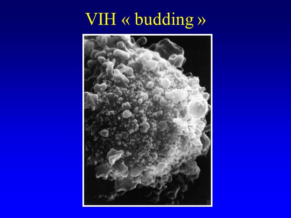 VIH « budding »