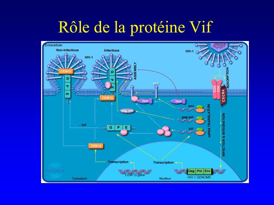Rôle de la protéine Vif