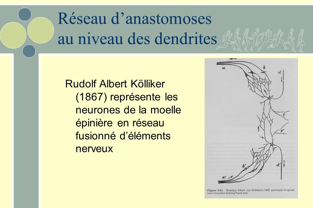Rudolf Albert Kölliker (1867) représente les neurones de la moelle épinière en réseau fusionné d'éléments nerveux Réseau d'anastomoses au niveau des d