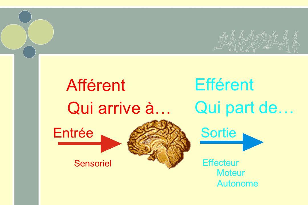 Entrée Sortie Sensoriel Moteur Effecteur Autonome Afférent Efférent Qui arrive à… Qui part de…
