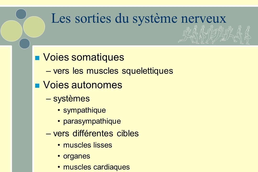 Les sorties du système nerveux n Voies somatiques –vers les muscles squelettiques n Voies autonomes –systèmes sympathique parasympathique –vers différentes cibles muscles lisses organes muscles cardiaques