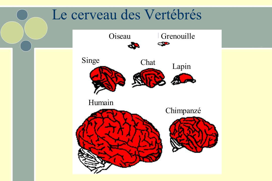 OiseauGrenouille Humain Lapin Chat Singe Chimpanzé Le cerveau des Vertébrés