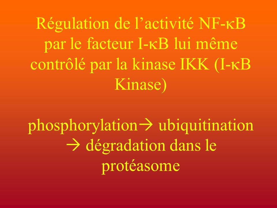 Régulation de l'activité NF-  B par le facteur I-  B lui même contrôlé par la kinase IKK (I-  B Kinase) phosphorylation  ubiquitination  dégradat