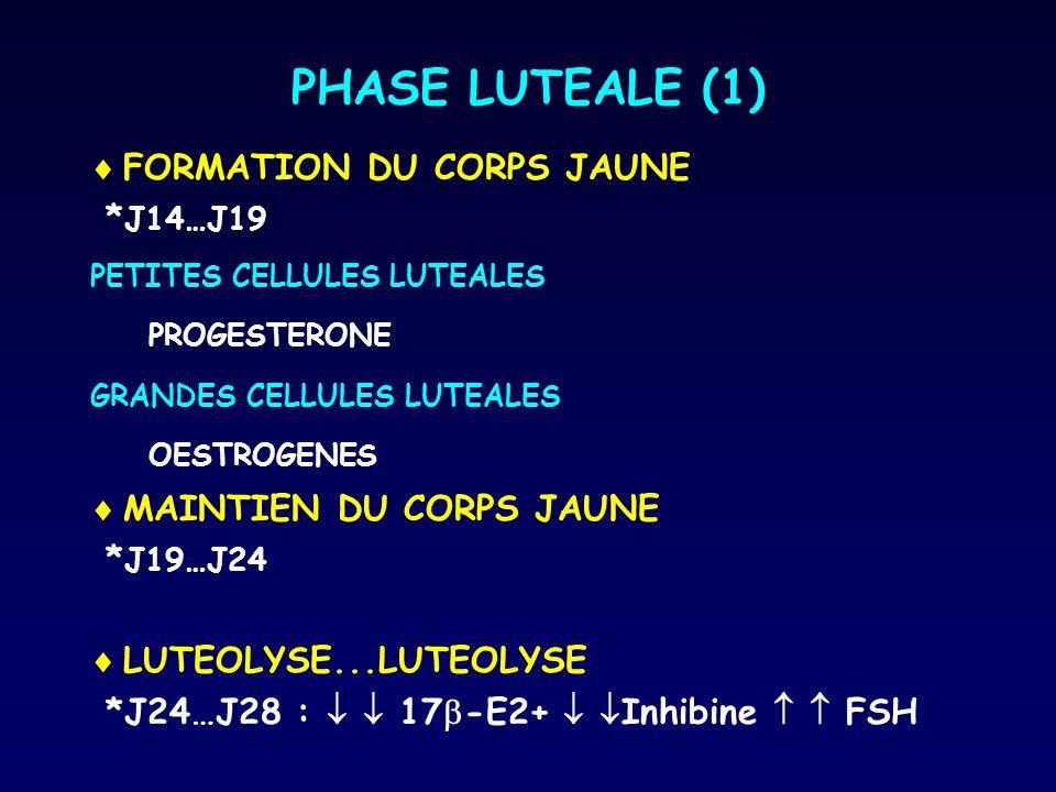 PHASE LUTEALE (1)  FORMATION DU CORPS JAUNE * J14…J19 PETITES CELLULES LUTEALES PROGESTERONE GRANDES CELLULES LUTEALES OESTROGENES  MAINTIEN DU CORP