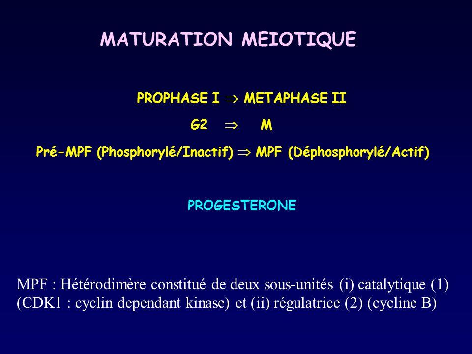 MATURATION MEIOTIQUE PROPHASE I  METAPHASE II G2  M Pré-MPF (Phosphorylé/Inactif)  MPF (Déphosphorylé/Actif) PROGESTERONE MPF : Hétérodimère consti