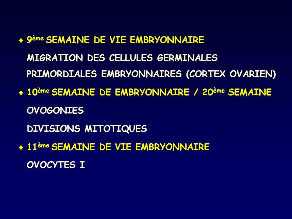  9 ème SEMAINE DE VIE EMBRYONNAIRE MIGRATION DES CELLULES GERMINALES PRIMORDIALES EMBRYONNAIRES (CORTEX OVARIEN)  10 ème SEMAINE DE EMBRYONNAIRE / 2