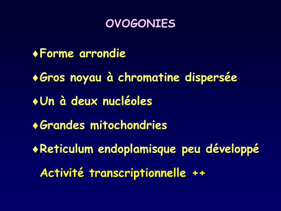 OVOGONIES  Forme arrondie  Gros noyau à chromatine dispersée  Un à deux nucléoles  Grandes mitochondries  Reticulum endoplamisque peu développé A
