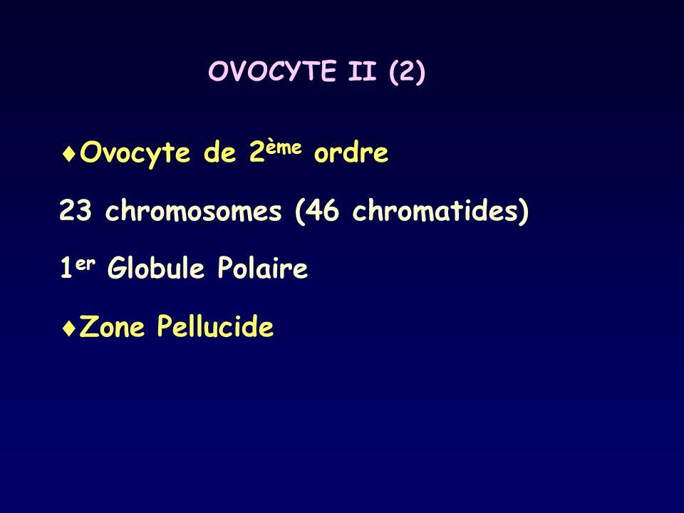 OVOCYTE II (2)  Ovocyte de 2 ème ordre 23 chromosomes (46 chromatides) 1 er Globule Polaire  Zone Pellucide
