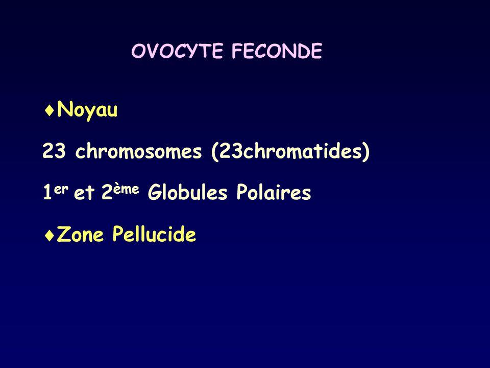 OVOCYTE FECONDE  Noyau 23 chromosomes (23chromatides) 1 er et 2 ème Globules Polaires  Zone Pellucide