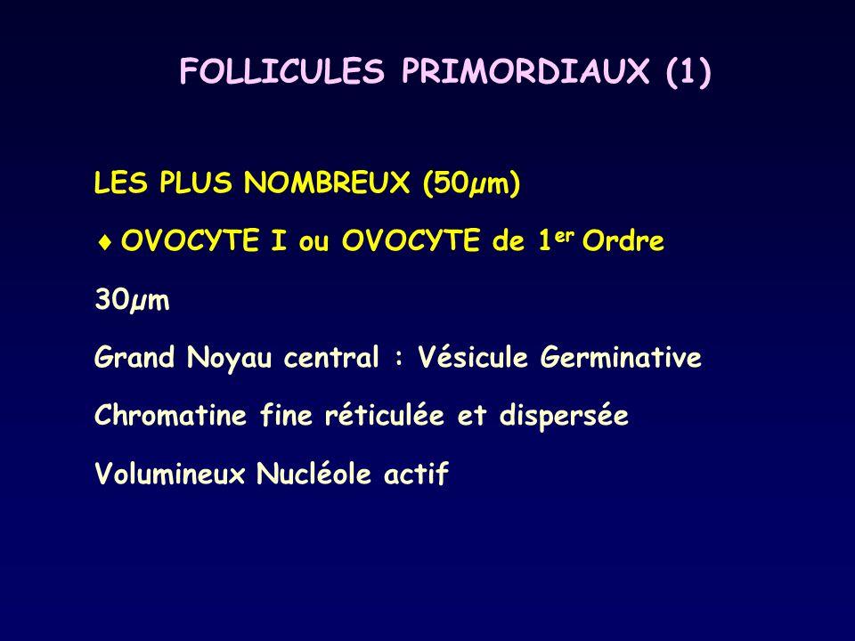 FOLLICULES PRIMORDIAUX (1) LES PLUS NOMBREUX (50µm)  OVOCYTE I ou OVOCYTE de 1 er Ordre 30µm Grand Noyau central : Vésicule Germinative Chromatine fi