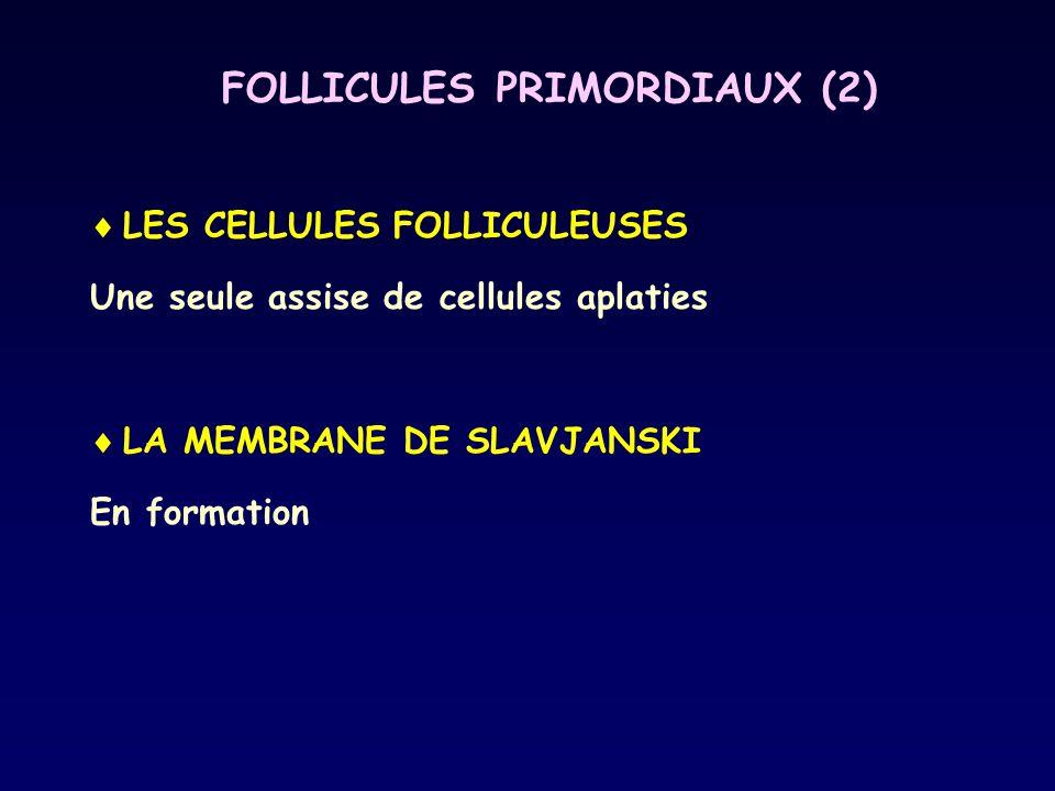 FOLLICULES PRIMORDIAUX (2)  LES CELLULES FOLLICULEUSES Une seule assise de cellules aplaties  LA MEMBRANE DE SLAVJANSKI En formation