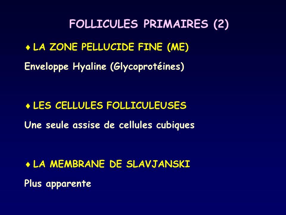 FOLLICULES PRIMAIRES (2)  LA ZONE PELLUCIDE FINE (ME) Enveloppe Hyaline (Glycoprotéines)  LES CELLULES FOLLICULEUSES Une seule assise de cellules cu