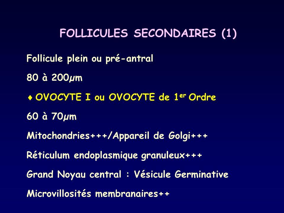 FOLLICULES SECONDAIRES (1) Follicule plein ou pré-antral 80 à 200µm  OVOCYTE I ou OVOCYTE de 1 er Ordre 60 à 70µm Mitochondries+++/Appareil de Golgi+
