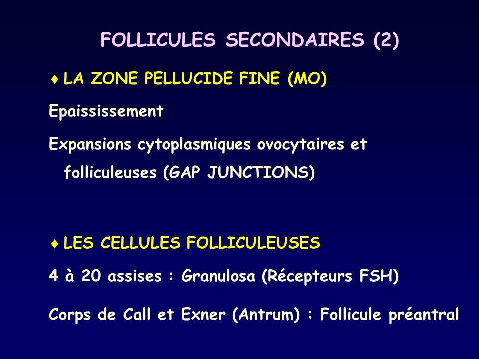 FOLLICULES SECONDAIRES (2)  LA ZONE PELLUCIDE FINE (MO) Epaississement Expansions cytoplasmiques ovocytaires et folliculeuses (GAP JUNCTIONS)  LES C