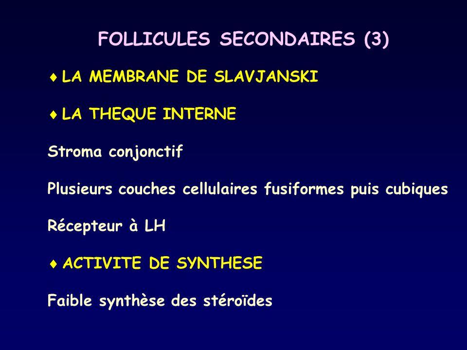 FOLLICULES SECONDAIRES (3)  LA MEMBRANE DE SLAVJANSKI  LA THEQUE INTERNE Stroma conjonctif Plusieurs couches cellulaires fusiformes puis cubiques Ré