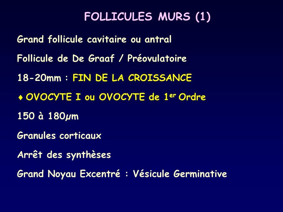 FOLLICULES MURS (1) Grand follicule cavitaire ou antral Follicule de De Graaf / Préovulatoire 18-20mm : FIN DE LA CROISSANCE  OVOCYTE I ou OVOCYTE de