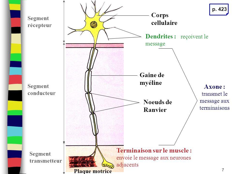 Sport Books Publisher8 Cellule de Schwann Axone Noyau Gaine de Schwann Gaine de myéline Gaine de myéline : membrane adipeuse ou isolante L'influx nerveux saute d'un nœud à l'autre pour une conduction plus rapide