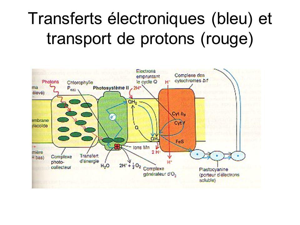 Transferts électroniques (bleu) et transport de protons (rouge)