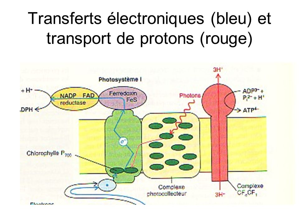 Structure de 2 protéines d'antenne