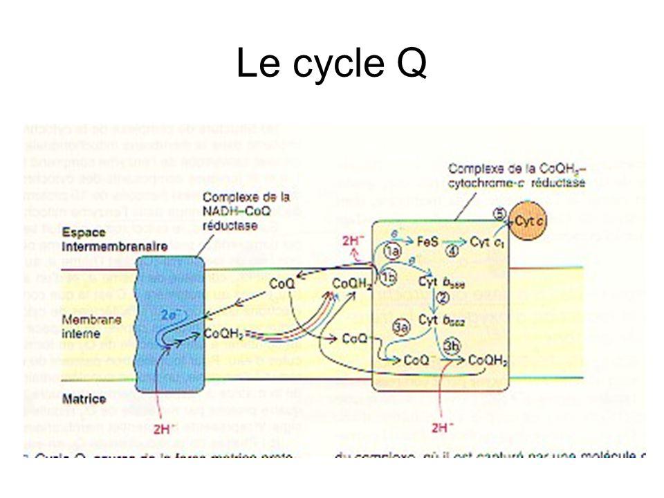 L'ATP Synthase
