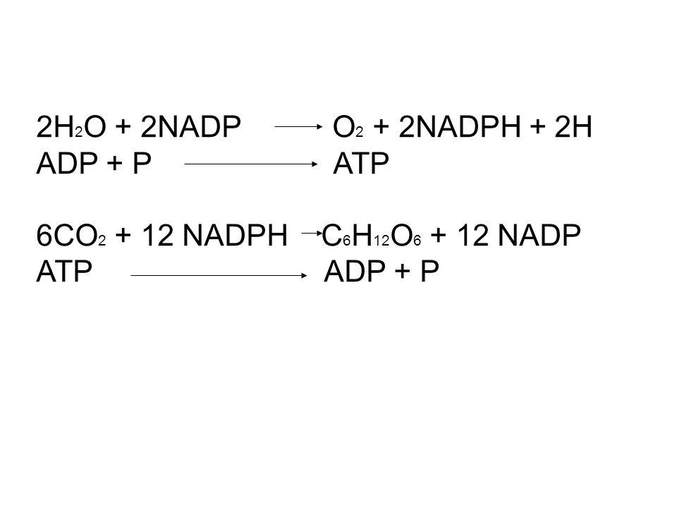 2H 2 O + 2NADP O 2 + 2NADPH + 2H ADP + P ATP 6CO 2 + 12 NADPH C 6 H 12 O 6 + 12 NADP ATP ADP + P