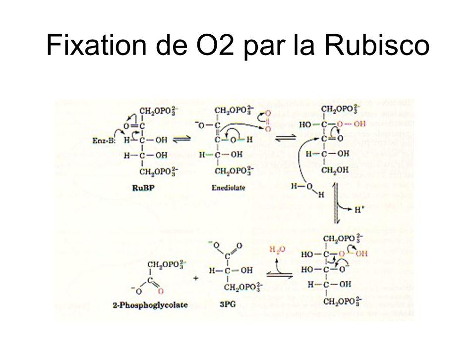Fixation de O2 par la Rubisco