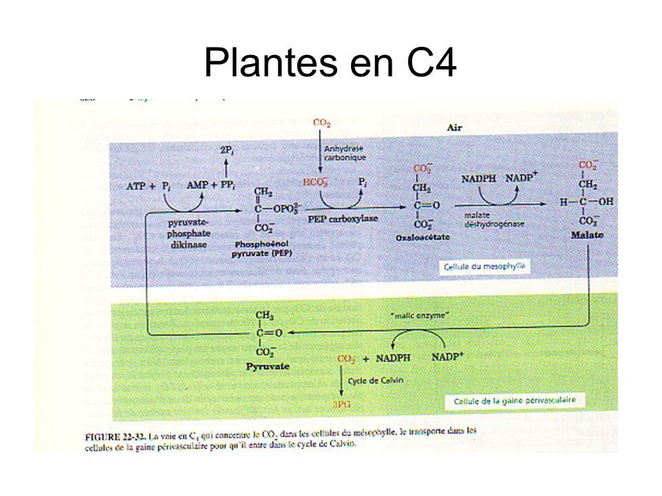 Plantes en C4