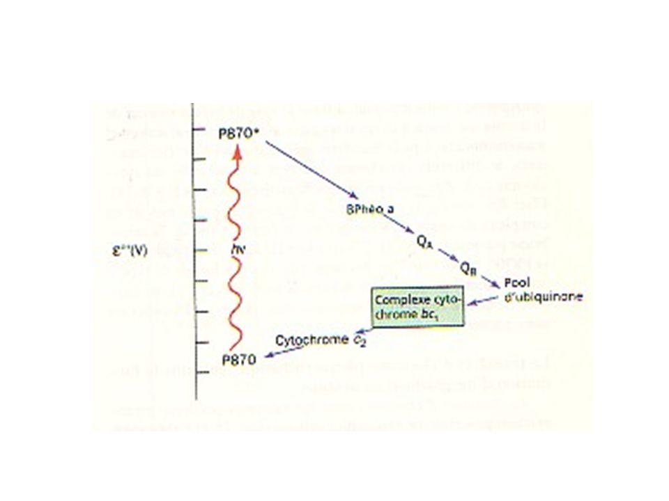 CHIMIOSYNTHESE Des bactéries dépourvues de pigments photorécepteurs fixent cependant le CO 2 par le cycle de Calvin et l'énergie nécessaire est tirée de l'oxydation de substrats minéraux : les substrats oxydés libèrent de l'énergie qui permet la synthèse d'ATP et des électrons qui après transport se fixent sur une substance de type T