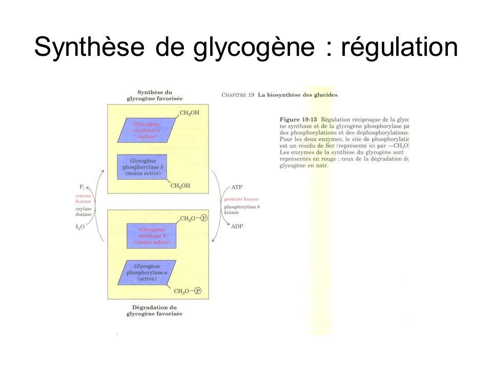 Synthèse de glycogène : régulation