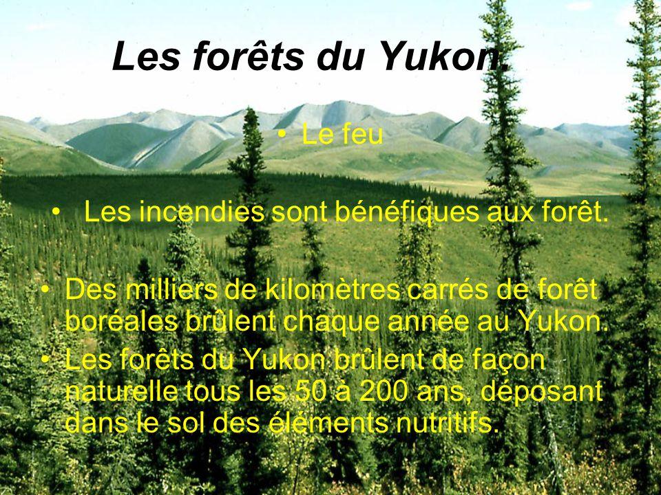 Les forêts du Yukon. Le feu Les incendies sont bénéfiques aux forêt. Des milliers de kilomètres carrés de forêt boréales brûlent chaque année au Yukon
