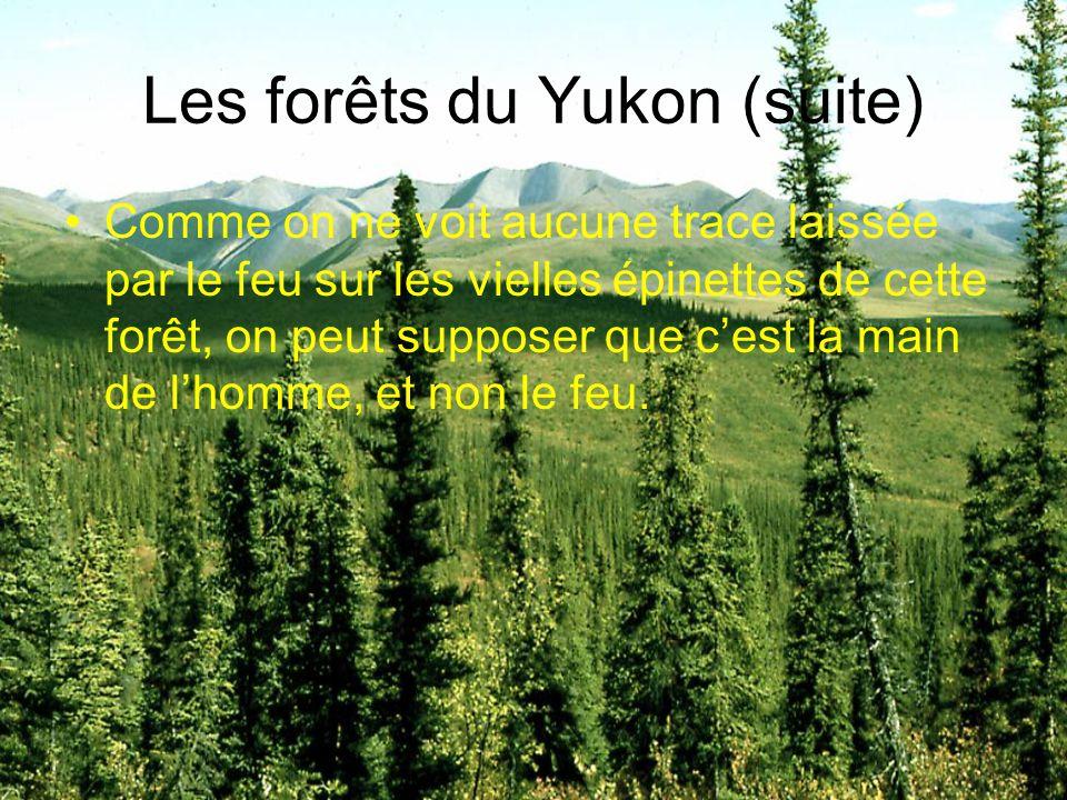 Les forêts du Yukon (suite) Comme on ne voit aucune trace laissée par le feu sur les vielles épinettes de cette forêt, on peut supposer que c'est la m