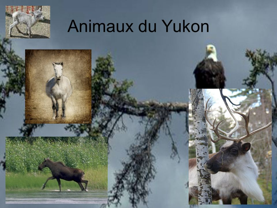 Animaux du Yukon
