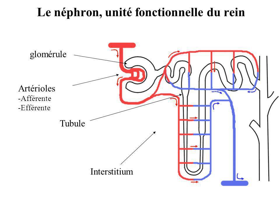 glomérule Tubule Artérioles -Afférente -Efférente Interstitium Le néphron, unité fonctionnelle du rein