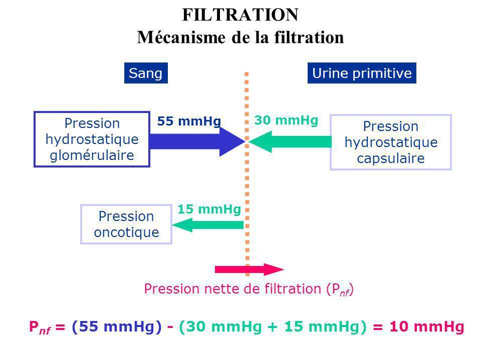 FILTRATION Mécanisme de la filtration SangUrine primitive Pression hydrostatique glomérulaire 55 mmHg Pression hydrostatique capsulaire 15 mmHg Pressi