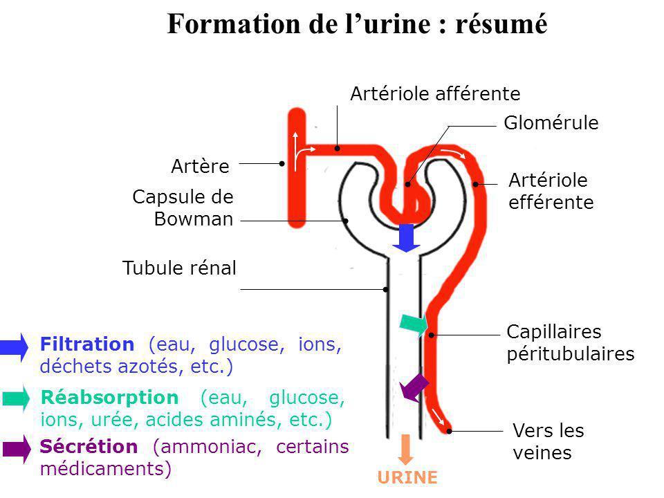 Glomérule Artériole efférente Capillaires péritubulaires Artériole afférente Artère Tubule rénal Capsule de Bowman Filtration (eau, glucose, ions, déc